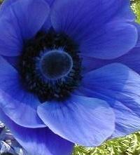 BlueAnemone