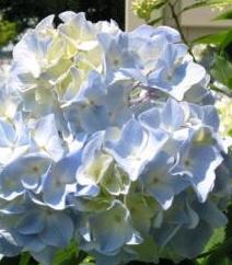 Light BlueHydrangea