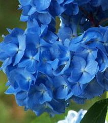 Dark BlueHydrangea